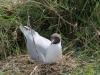 kokmeeuw op nest