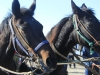 Volbloed paarden Ameland