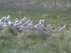 Lepelaars kolonie op Ameland