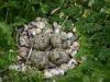 eieren scholekster