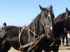 Friese paarden Ameland reddingsboot
