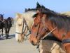 Paarden Ameland